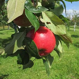 Apples Bare Root Trees Dwarf Gilby S Orchard Aitkin Mn