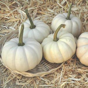 Casperita Pumpkin