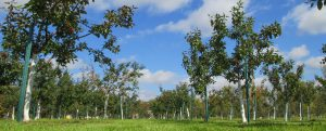 Bare Root Apple Trees for Sale