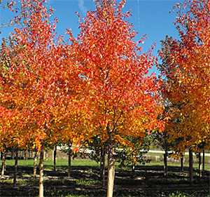sienna glen maple tree