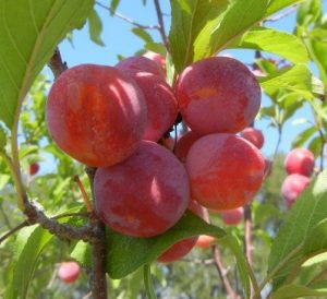 toka plum