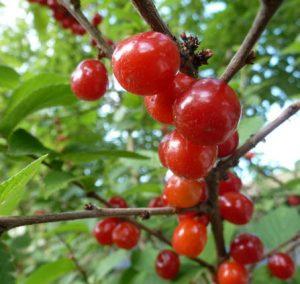 Minnesota Nanking Cherry - Bare Root Tree