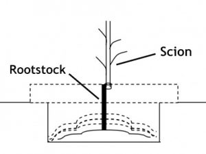 Rootstock & Scion
