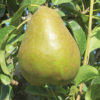 Early_Gold_Pear