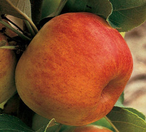 Prairie Magic Apple