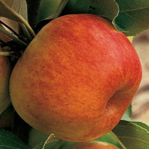 Prairie Magic Apple