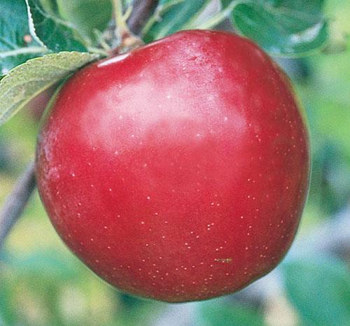 Red Baron Apple