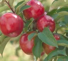 Red Regent Apple