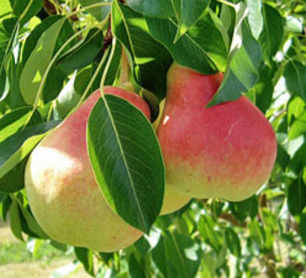 Summer Crisp Pear