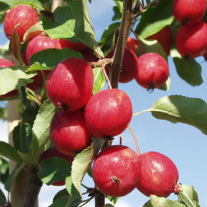 dolgo crab apple