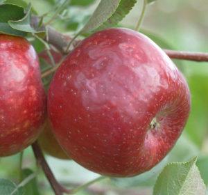 frostbite apple