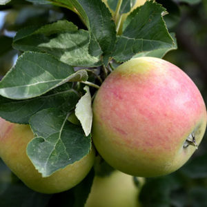 goodland apple