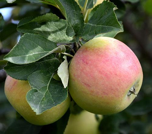 goodland apple
