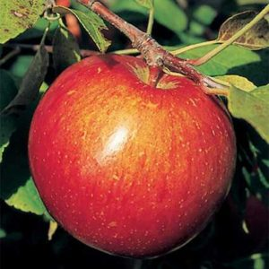 haralson apple