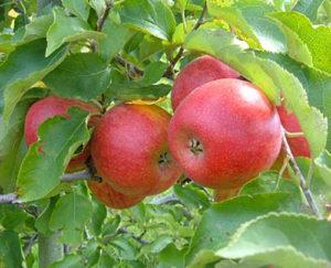 hazen apple tree