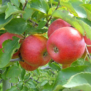 hazen apple tree