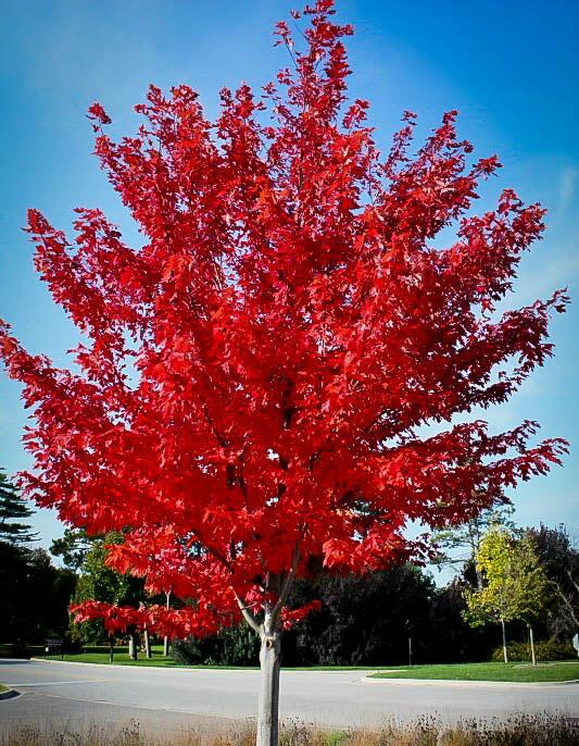 scarlet-maple