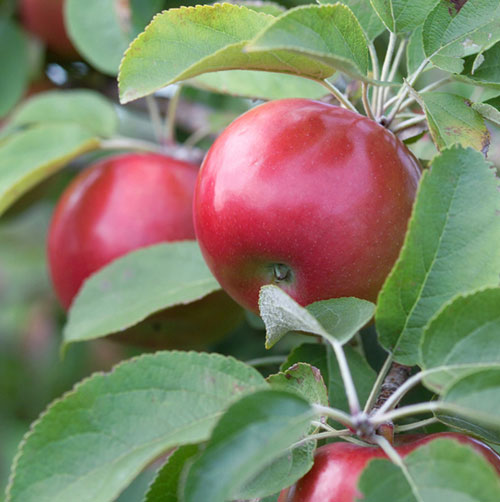snowsweet apple