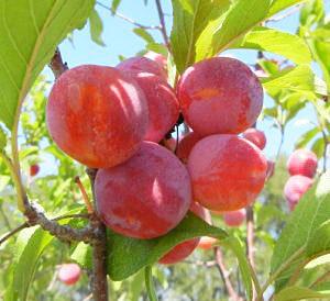 bubblegum toka plum tree
