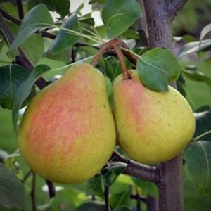 ure-pear-tree