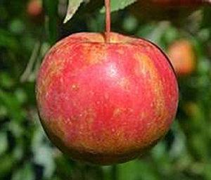 wodarz apple