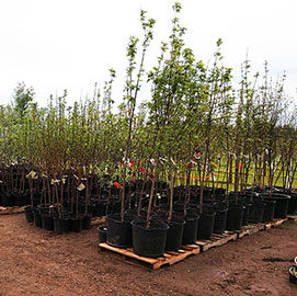 Trees for Sale