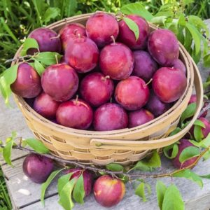 Gilby's Alderman Plum