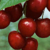 Mesabi Cherry