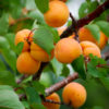 Pioneer Chinese Apricot