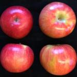 MN1980 Apple