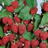 Boyne Raspberry