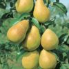Patten Pear