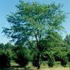 Northern Acclaim® Thornless Honeylocust
