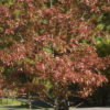 First Editions® Majestic Skies™ Northern Pin Oak