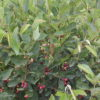 Regent Saskatoon Serviceberry