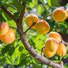 Westcot Apricot